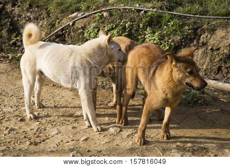 Male and female dog mating cross-breed, mating of pet, dogs make love