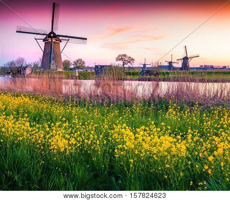 Colorful spring scene in the famoust Kinderdijk canals with windmillas UNESCO world heritage site. Sunset in Dutch village Kinderdijk with a field of blossom colza Netherlands Europe.