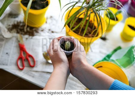 Transplanting houseplants, cactus in the yellow pot