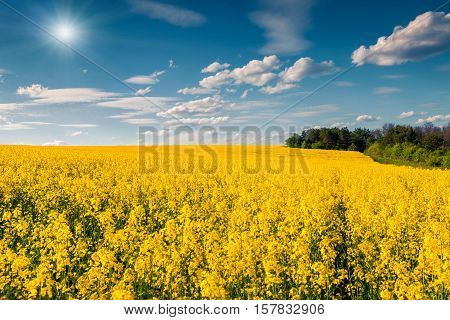 Sunny Summer Morning In The Field Of Blossoming Colza