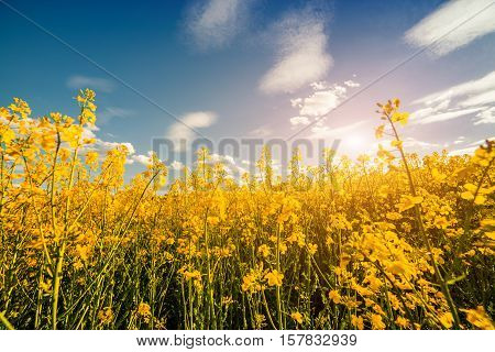 Colorful Spring Sunrise Among The Field Of Blossoming Colza