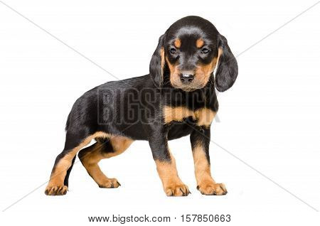 Pretty puppy breed Slovakian Hound isolated on white background