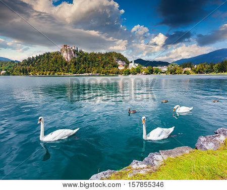 White Swans In Summer Sunny Day On Bled Lake