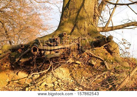 undermined tree with revealed roots in autumn