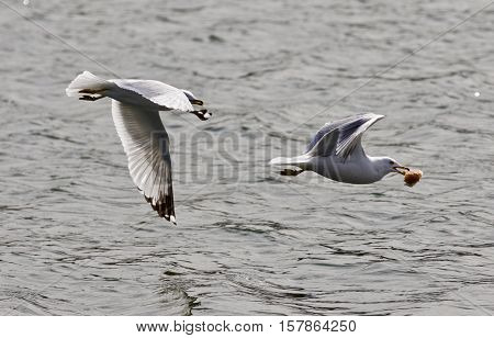 Beautiful Photo Of A Gull Chasing Its Rival With The Food Near The Water