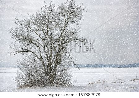 A lonely tree on the banks of a frozen lake in the Swedish countryside at wintertime.