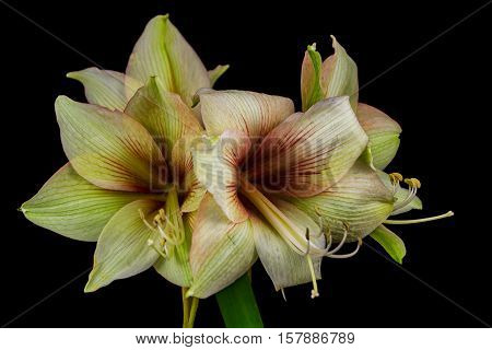 Close-up of green amaryllis flower. Zen in the art of flowers. Macro photography of nature.