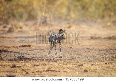 African Wild Dog Running In The Grass.