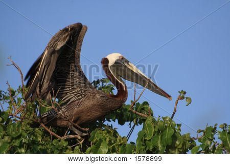 Brown Pelican About To Fly Off Tree