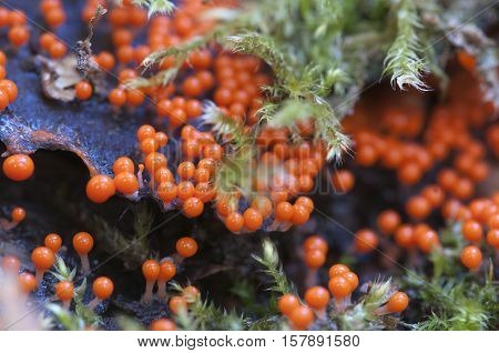 Mushrooms (slime mould Trichia decipiens ) on an old stump