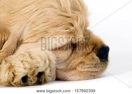 Sleeping Puppy Dog