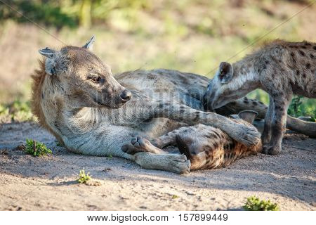 Mother Spotted Hyena With Two Pups.