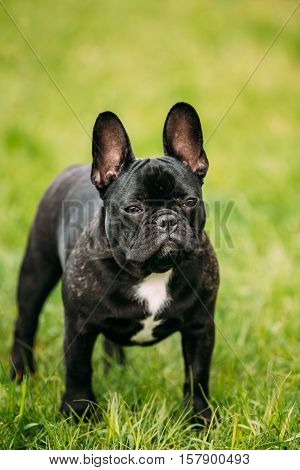 Young Black French Bulldog Puppy Dog With A White Spot On His Chest In Green Grass, In Park Outdoor