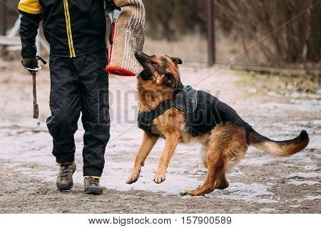 German shepherd dog training. Biting dog. Alsatian Wolf Dog