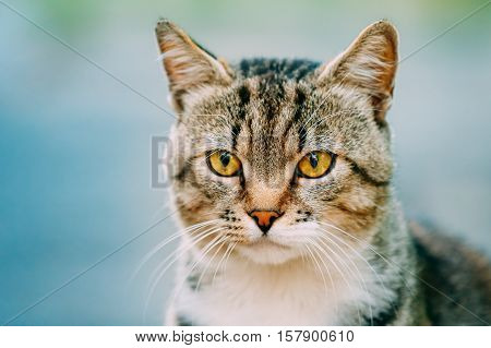 Portrait Of Cute Gray And White Mixed Breed Short-Haired Domestic Young Cat With Yellow Eyes, Staring Away On Blue Background.