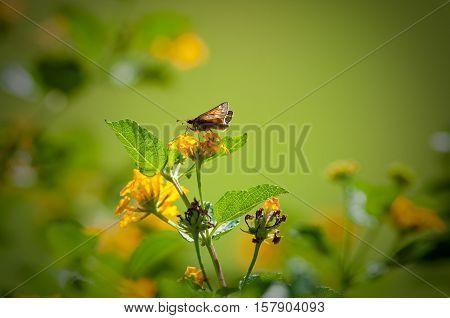 Beautiful yellow lantana with moth eating and bokeh background
