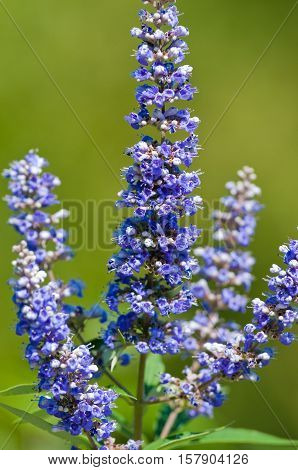 Close up view of a lavendar vitex bloom in a garden.