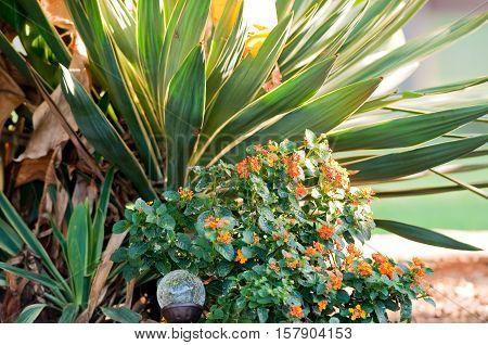 Garden of green and orange lantana and yucca plants.