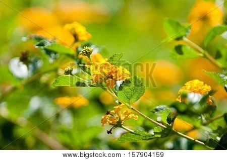 Beautiful yellow Texas lantana in a garden.