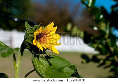 Beautiful yellow sunflower blooming with blue sky in background.