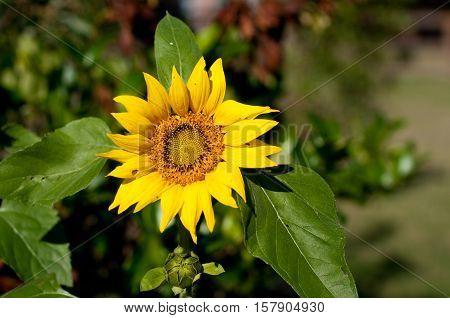 Beautiful Yellow Sunflower close up in a garden.