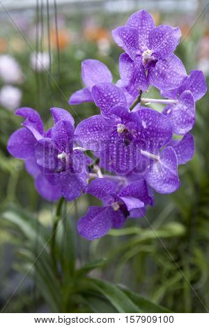 Big sapphirine flower orchids. Beautiful blossoms close-up. Orchid flower on a branch in a garden of orchids. Thailand