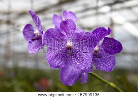 Big navy blue flower orchids. Beautiful blossoms close-up. Orchid flower on a branch in a garden of orchids. Thailand.
