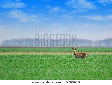 roebuck standing in green wheat field