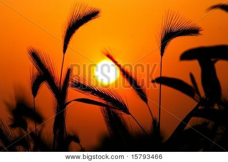 Grass Silhouette Against Sunset, Close up of ripening rye ears.