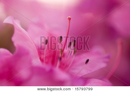 Pink Blossom. Close-Up of Azalea Flower. Shallow DOF, focus on pistil.