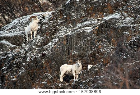 Dall sheep rams and ewe along the cliffs during the rut season