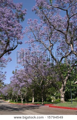 Blossoming Jacaranda Trees