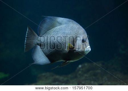 Grey angelfish (Pomacanthus arcuatus), also known as the black angelfish.