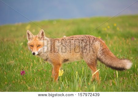 Portrait of wild red fox on the flowers
