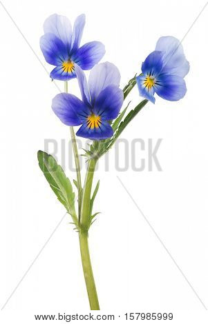 three pansy flowers isolated on white background