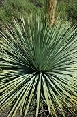 a close view of spiny yucca plant in