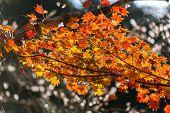 autumn background Red leave with sakura in Obara Nagoya Japan poster