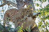 Постер, плакат: Leopard With A Duiker Kill