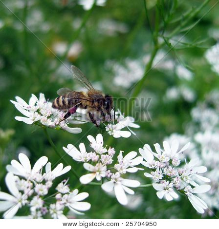 Bee on coriander flowers.