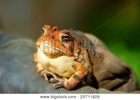 American Toad  (Bufo americanus) on Glove