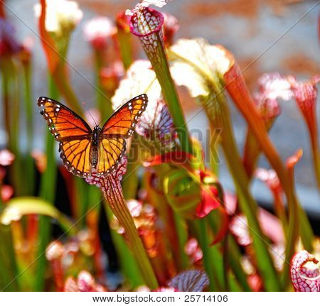 Butterfly in Pitcher Plant Stand