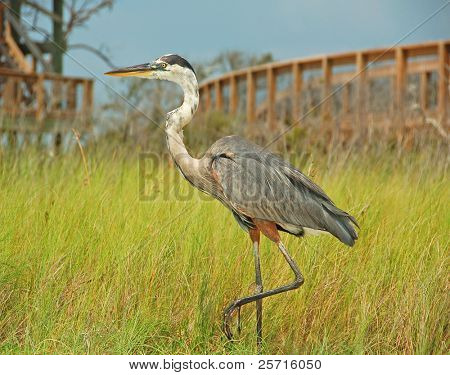 Heron in Marsh Grasses