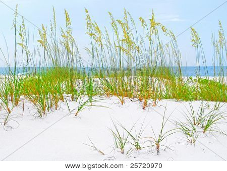 Pretty stand of seaoat plants on sand dune by ocean