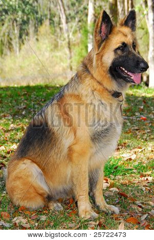 German shepherd police dog on alert