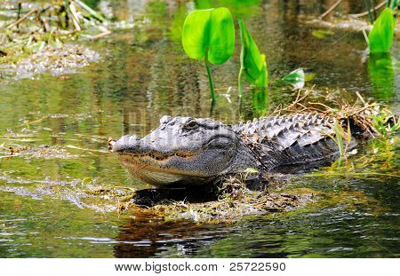 Alligator in swamp with teeth showing