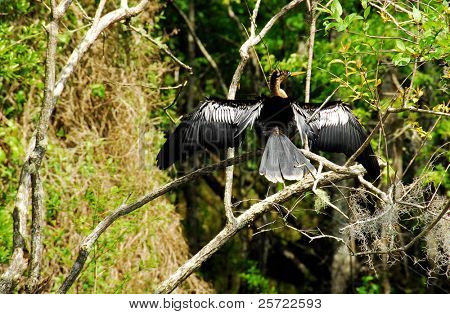 Anhinga bird drying wings in wetland