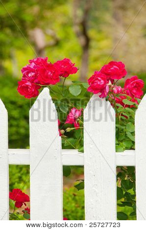 Red roses growing along white picket fence