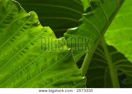 Layers Of Yam Leaves