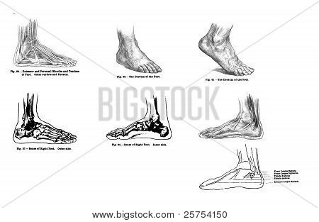 7 Views Of The Human Foot, Muscles And Bones