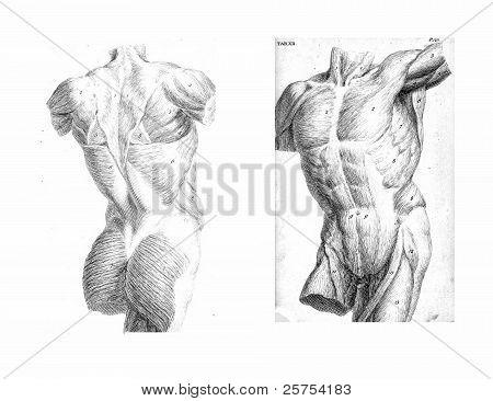 2 Views Of The Human Torso, Muscles And Internal Organs